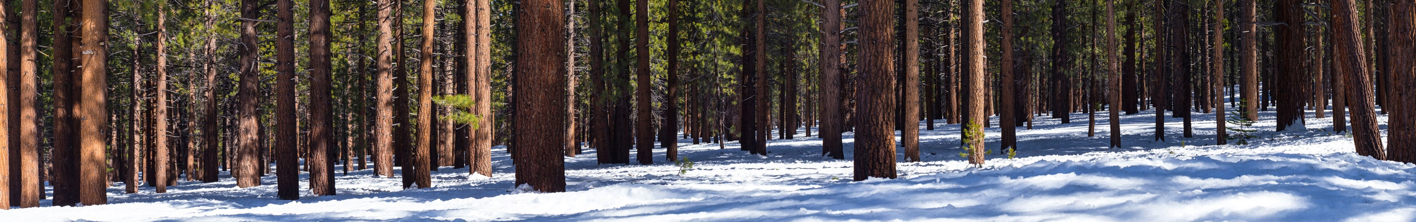 Fir and Yellow Pine at Mammoth Mountain, California